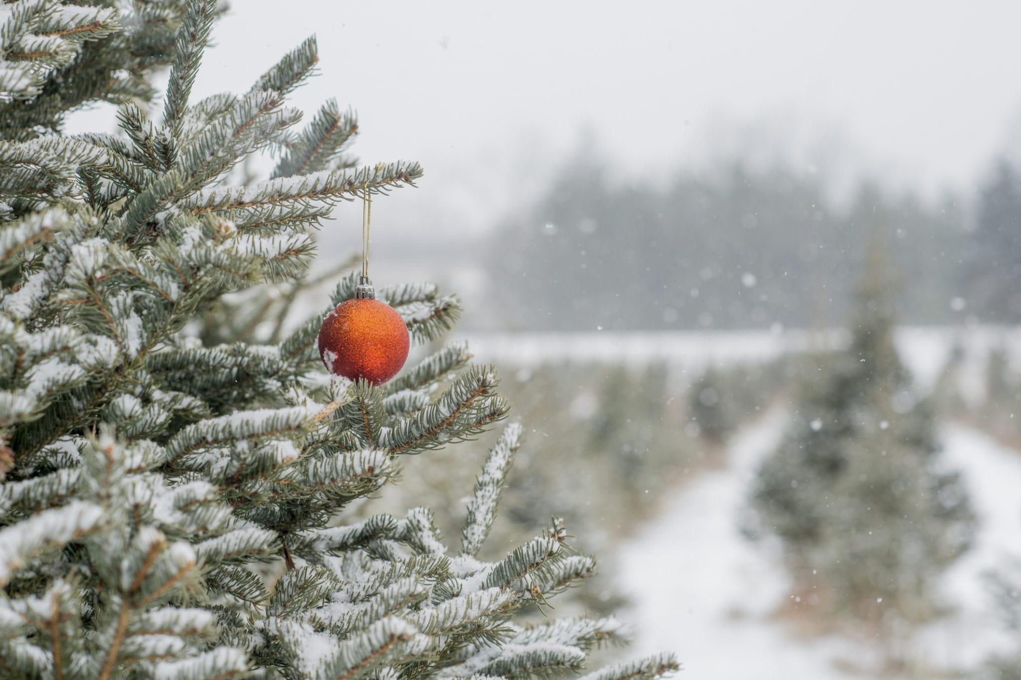 tree at christmas tree farm