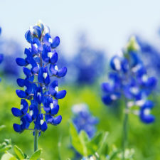 photo of bluebonnets and wildflowers