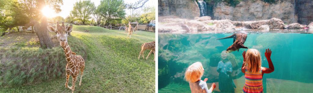 fort worth zoo giraffe otter