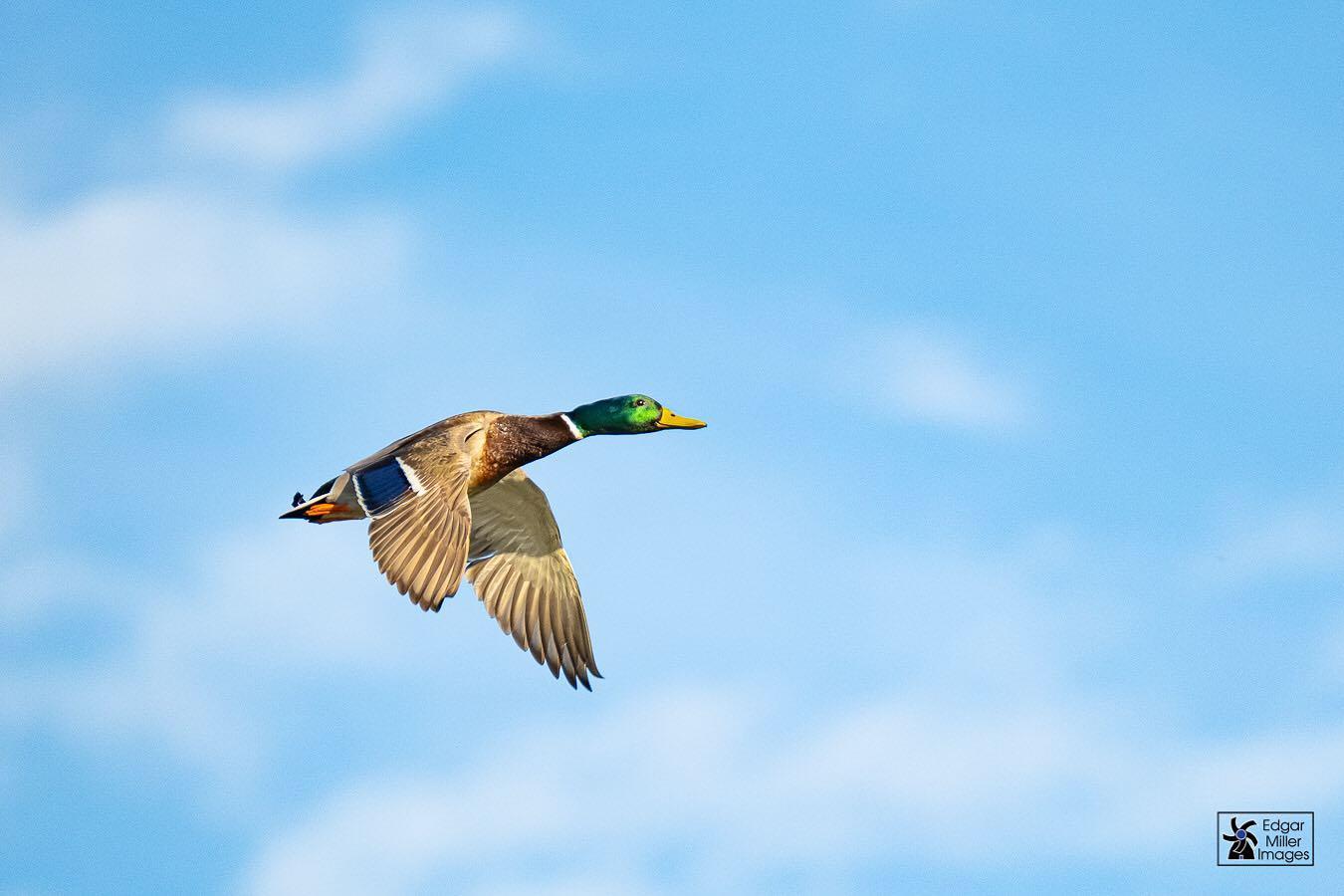 Mallard duck, by Edgar Miller Images