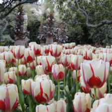 Dallas Blooms, Dallas Arboretum