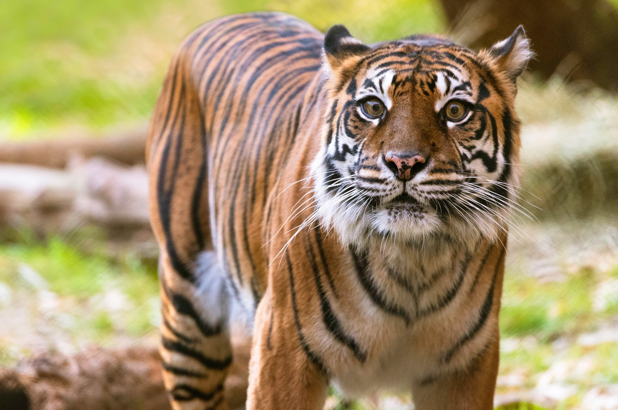 Sumatran tiger Melati at Dallas Zoo