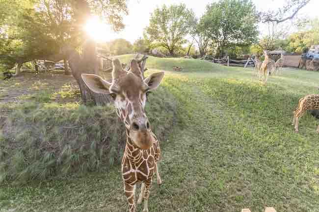 giraffe preview 1