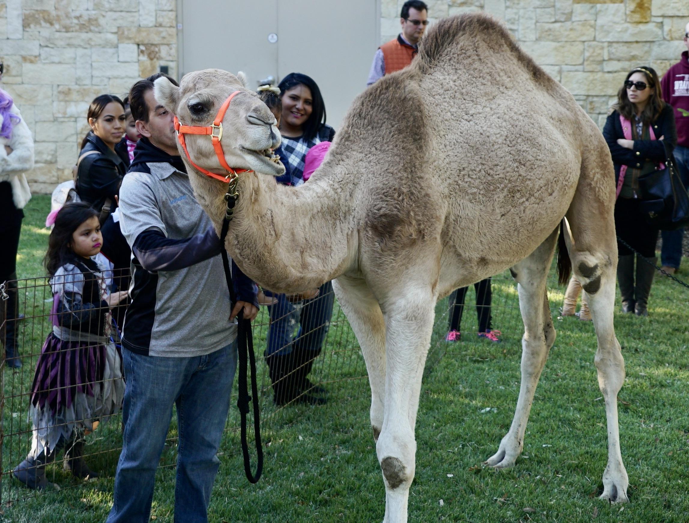 Meet Humperdink the Camel at the Castle Hills Fall Festival